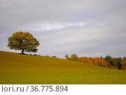 Kraichgau, bunter freistehender Baum im Herbst, Kühe auf der Weide, Стоковое фото, фотограф Zoonar.com/Bildagentur Geduldig / easy Fotostock / Фотобанк Лори