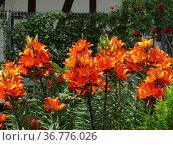 Feuerlilie blühend im Garten, Feuer-Lilie (Lilium bulbiferum) Стоковое фото, фотограф Zoonar.com/Bildagentur Geduldig / easy Fotostock / Фотобанк Лори