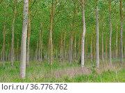 Pappelwald - populus forest 09. Стоковое фото, фотограф Zoonar.com/Liane Matrisch / easy Fotostock / Фотобанк Лори