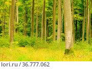 Buchenwald im Herbst - beech forest in fall 20. Стоковое фото, фотограф Zoonar.com/Liane Matrisch / easy Fotostock / Фотобанк Лори
