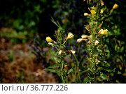 Eine Königskerze mit gelben Blüten am Wegesrand. Стоковое фото, фотограф Zoonar.com/Bastian Kienitz / easy Fotostock / Фотобанк Лори