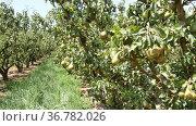 rows with pear trees with fruits in the fruit nursery. Стоковое видео, видеограф Яков Филимонов / Фотобанк Лори