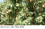 Closeup of ripe fresh pears on tree in the fruit garden. Стоковое видео, видеограф Яков Филимонов / Фотобанк Лори
