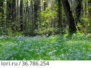 Wiesenschaumkraut blühend in Wiese, Wiesen-Schaumkraut (Cardamine... Стоковое фото, фотограф Zoonar.com/Bildagentur Geduldig / easy Fotostock / Фотобанк Лори
