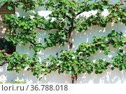 Grüne und frische Weinblätter an einer hellen Putzfassade werfen Schatten... Стоковое фото, фотограф Zoonar.com/Bastian Kienitz / easy Fotostock / Фотобанк Лори