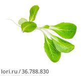 Green twig of corn salad (mache, feld salat, etc) isolated on white... Стоковое фото, фотограф Zoonar.com/Valery Voennyy / easy Fotostock / Фотобанк Лори