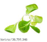 Twig of fresh corn salad (mache, feld salat, etc) isolated on white... Стоковое фото, фотограф Zoonar.com/Valery Voennyy / easy Fotostock / Фотобанк Лори