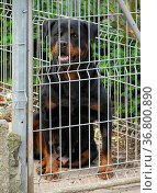 Rottweiler - Hund im Käfig, FCI-Standard Nr. 147. Стоковое фото, фотограф Zoonar.com/Bildagentur Geduldig / easy Fotostock / Фотобанк Лори