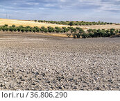 Fallow, olive trees and stubble in Pinto. Madrid. Spain. Europe. Стоковое фото, фотограф María del Valle Martín Morales / age Fotostock / Фотобанк Лори