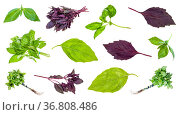 Various leaves and twigs of basil plants isolated on white background. Стоковое фото, фотограф Zoonar.com/Valery Voennyy / easy Fotostock / Фотобанк Лори