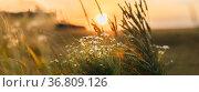 Blooming Wild Flower Matricaria Chamomilla, Matricaria Recutita, Chamomile... Стоковое фото, фотограф Ryhor Bruyeu / easy Fotostock / Фотобанк Лори