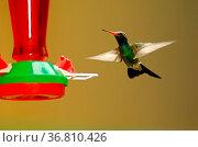 Trochilidae - Kolibri. Стоковое фото, фотограф Zoonar.com/H Landshoeft / easy Fotostock / Фотобанк Лори