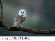 Barn owl (Tyto alba) perched on tree branch at dusk,Northamptonshire, UK, May. Стоковое фото, фотограф Danny Green / Nature Picture Library / Фотобанк Лори