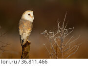 Barn owl (Tyto alba) perched on tree stump in early morning light. Northamptonshire, UK, January. Стоковое фото, фотограф Danny Green / Nature Picture Library / Фотобанк Лори