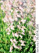 Taubenkropf-Leimkraut (Silene vulgaris) Стоковое фото, фотограф Zoonar.com/Robert Biedermann / easy Fotostock / Фотобанк Лори