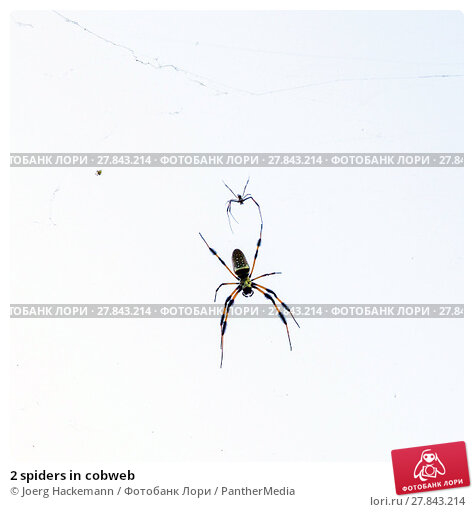 Купить «2 spiders in cobweb», фото № 27843214, снято 20 октября 2018 г. (c) PantherMedia / Фотобанк Лори