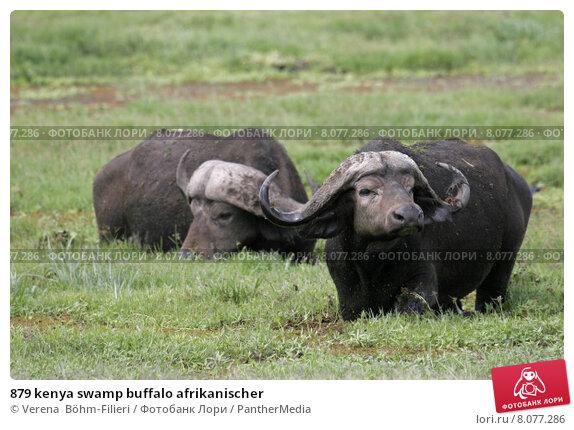 Купить «879 kenya swamp buffalo afrikanischer», фото № 8077286, снято 27 мая 2018 г. (c) PantherMedia / Фотобанк Лори