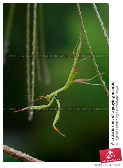 Купить «A artistic shot of a praying mantis», фото № 6373634, снято 19 марта 2019 г. (c) Ingram Publishing / Фотобанк Лори
