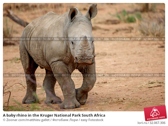 A baby rhino in the Kruger National Park South Africa. Стоковое фото, фотограф Zoonar.com/matthieu gallet / easy Fotostock / Фотобанк Лори