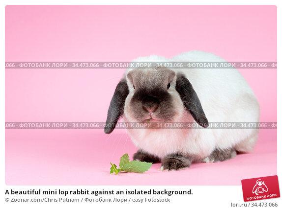 A beautiful mini lop rabbit against an isolated background. Стоковое фото, фотограф Zoonar.com/Chris Putnam / easy Fotostock / Фотобанк Лори