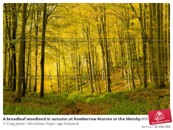 A broadleaf woodland in autumn at Rowberrow Warren in the Mendip Hills, Somerset, England. Стоковое фото, фотограф Craig Joiner / age Fotostock / Фотобанк Лори