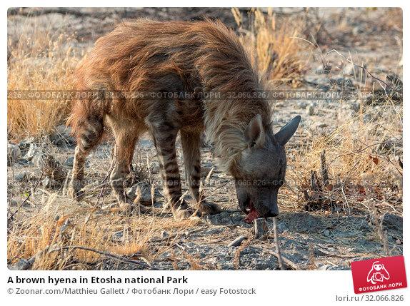 A brown hyena in Etosha national Park. Стоковое фото, фотограф Zoonar.com/Matthieu Gallett / easy Fotostock / Фотобанк Лори