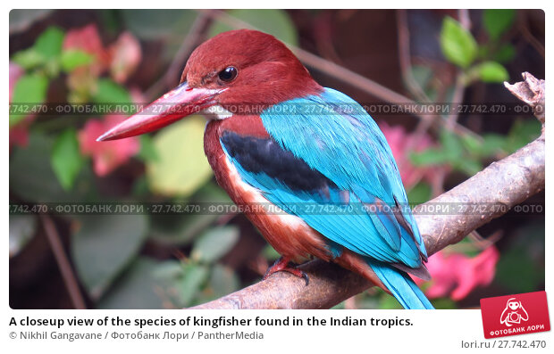 Купить «A closeup view of the species of kingfisher found in the Indian tropics.», фото № 27742470, снято 24 февраля 2019 г. (c) PantherMedia / Фотобанк Лори