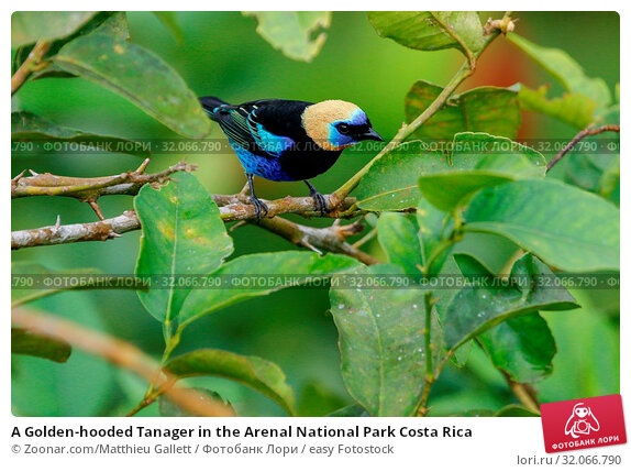 A Golden-hooded Tanager in the Arenal National Park Costa Rica. Стоковое фото, фотограф Zoonar.com/Matthieu Gallett / easy Fotostock / Фотобанк Лори