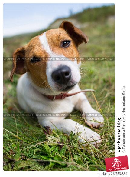 A Jack Russell dog., фото № 26753834, снято 8 августа 2017 г. (c) Типляшина Евгения / Фотобанк Лори