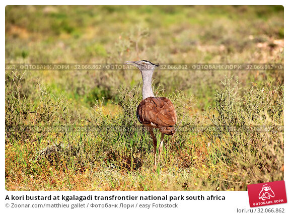A kori bustard at kgalagadi transfrontier national park south africa. Стоковое фото, фотограф Zoonar.com/matthieu gallet / easy Fotostock / Фотобанк Лори