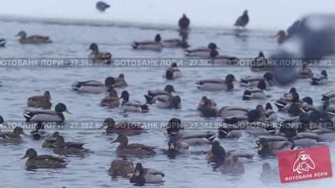 Купить «A lot of ducks on the frozen lake», видеоролик № 27382898, снято 11 января 2018 г. (c) Константин Шишкин / Фотобанк Лори