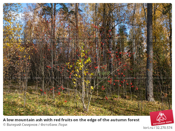 Купить «A low mountain ash with red fruits on the edge of the autumn forest», фото № 32270574, снято 5 октября 2019 г. (c) Валерий Смирнов / Фотобанк Лори
