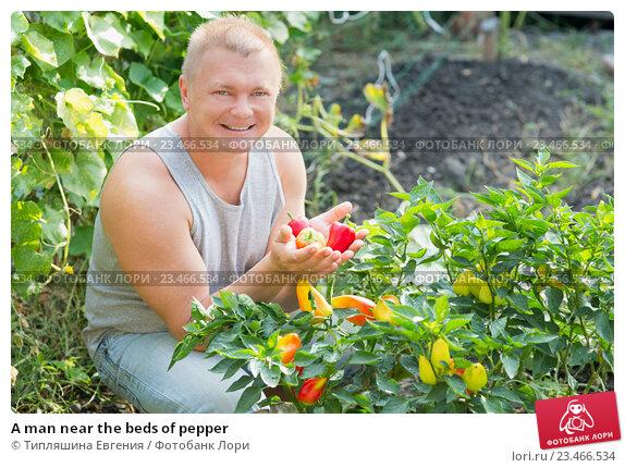 Купить «A man near the beds of pepper», фото № 23466534, снято 30 августа 2016 г. (c) Типляшина Евгения / Фотобанк Лори