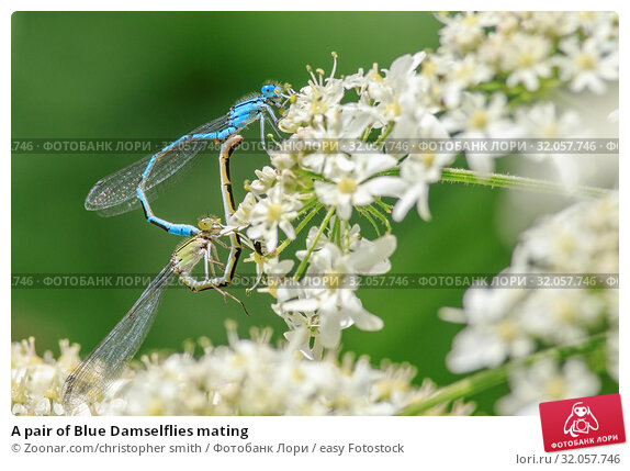 A pair of Blue Damselflies mating. Стоковое фото, фотограф Zoonar.com/christopher smith / easy Fotostock / Фотобанк Лори