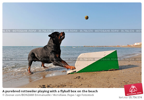 A purebred rottweiler playing with a flyball box on the beach. Стоковое фото, фотограф Zoonar.com/BONZAMI Emmanuelle / age Fotostock / Фотобанк Лори