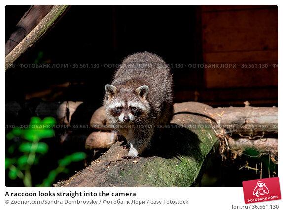 A raccoon looks straight into the camera. Стоковое фото, фотограф Zoonar.com/Sandra Dombrovsky / easy Fotostock / Фотобанк Лори