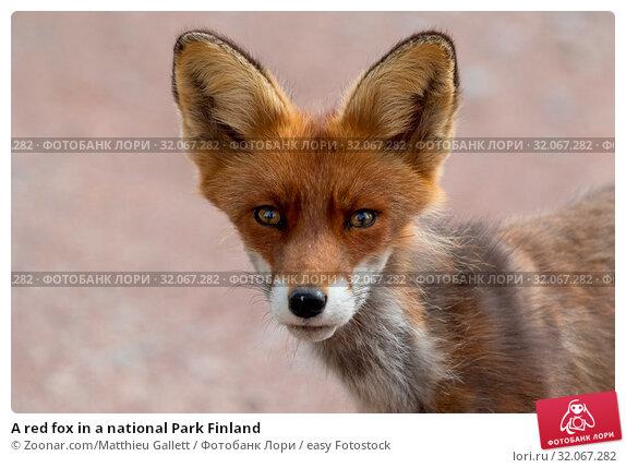 A red fox in a national Park Finland. Стоковое фото, фотограф Zoonar.com/Matthieu Gallett / easy Fotostock / Фотобанк Лори
