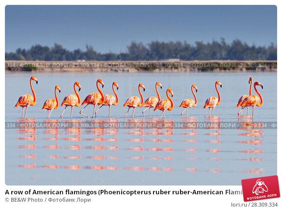 Купить «A row of American flamingos (Phoenicopterus ruber ruber-American Flamingo) in the Rio Lagardos, Mexico», фото № 28309334, снято 22 апреля 2018 г. (c) BE&W Photo / Фотобанк Лори