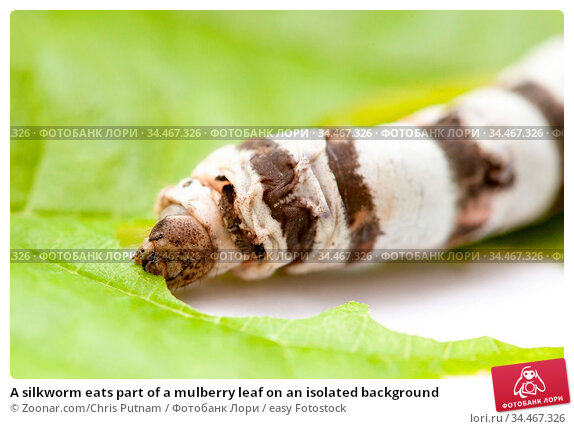 A silkworm eats part of a mulberry leaf on an isolated background. Стоковое фото, фотограф Zoonar.com/Chris Putnam / easy Fotostock / Фотобанк Лори
