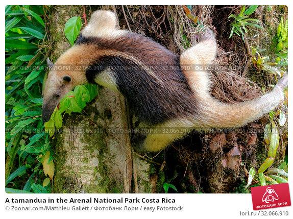 A tamandua in the Arenal National Park Costa Rica. Стоковое фото, фотограф Zoonar.com/Matthieu Gallett / easy Fotostock / Фотобанк Лори