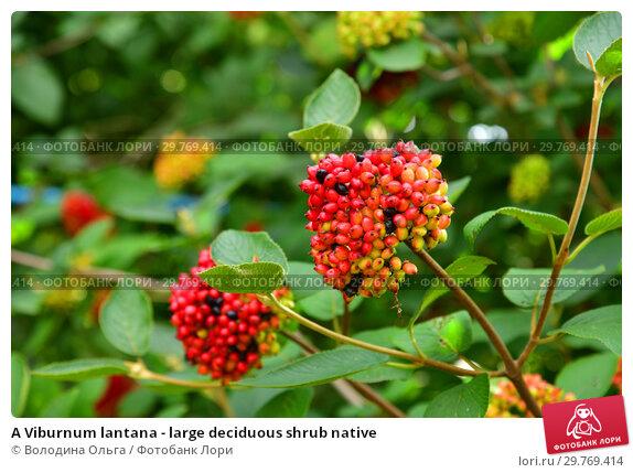 Купить «A Viburnum lantana - large deciduous shrub native», фото № 29769414, снято 21 июля 2018 г. (c) Володина Ольга / Фотобанк Лори