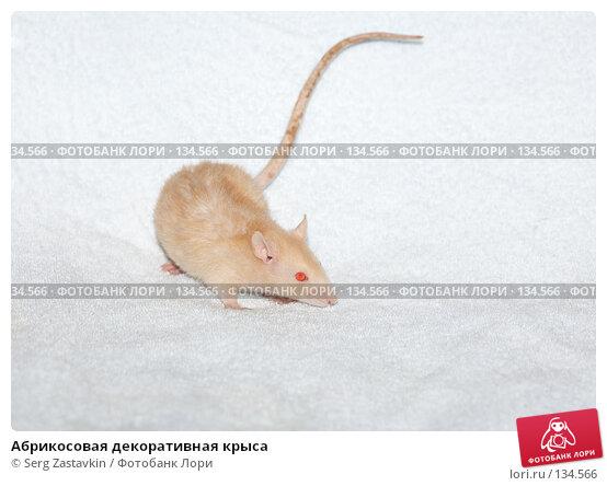 Абрикосовая декоративная крыса, фото № 134566, снято 11 октября 2006 г. (c) Serg Zastavkin / Фотобанк Лори