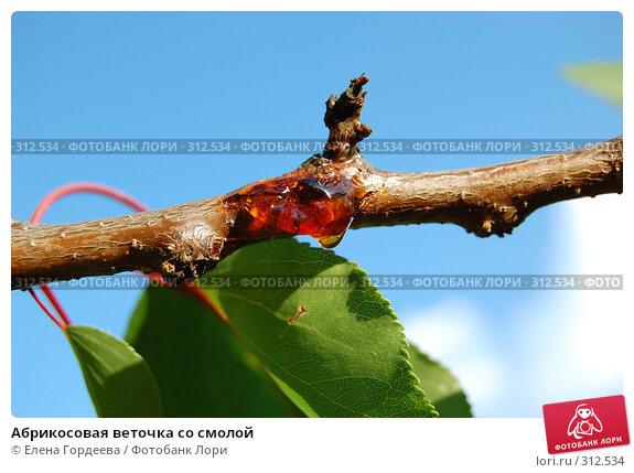 Абрикосовая веточка со смолой, фото № 312534, снято 5 июня 2008 г. (c) Елена Гордеева / Фотобанк Лори