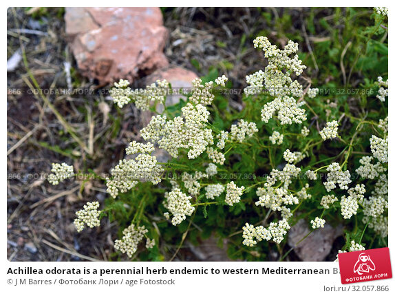 Achillea odorata is a perennial herb endemic to western Mediterranean Basin. This photo was taken in Sierra Nevada National Park, Granada province, Andalucia, Spain. Стоковое фото, фотограф J M Barres / age Fotostock / Фотобанк Лори