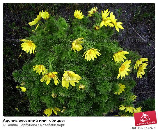 Адонис весенний или горицвет, фото № 144974, снято 19 апреля 2006 г. (c) Галина  Горбунова / Фотобанк Лори