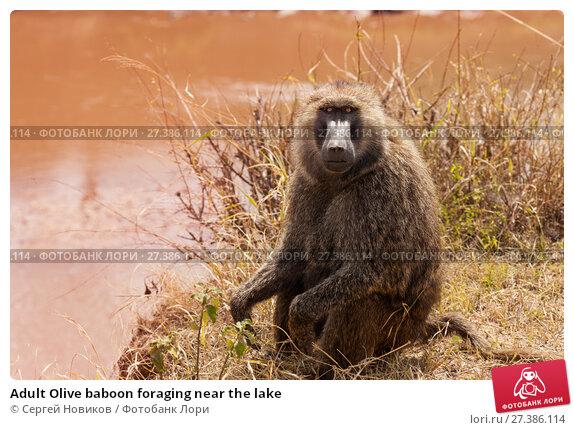 Купить «Adult Olive baboon foraging near the lake», фото № 27386114, снято 19 августа 2015 г. (c) Сергей Новиков / Фотобанк Лори