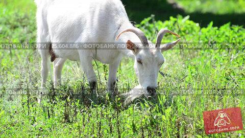 Купить «Adult white goat eating grass», видеоролик № 25604886, снято 23 февраля 2017 г. (c) Володина Ольга / Фотобанк Лори