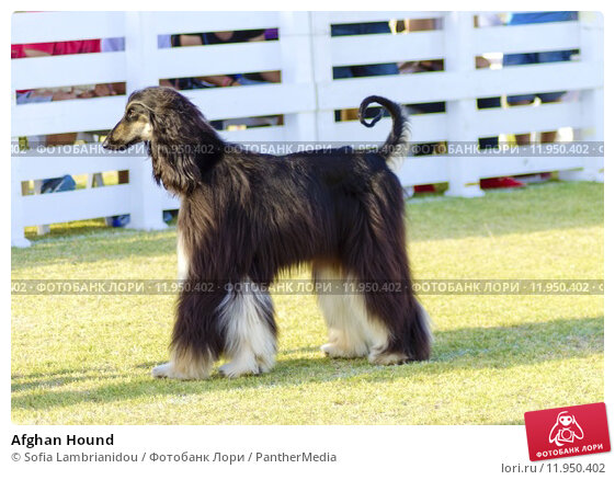 Купить «Afghan Hound», фото № 11950402, снято 15 сентября 2019 г. (c) PantherMedia / Фотобанк Лори
