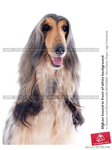 Afghan hound in front of white background. Стоковое фото, фотограф Zoonar.com/Emmanuelle BONZAMI / age Fotostock / Фотобанк Лори