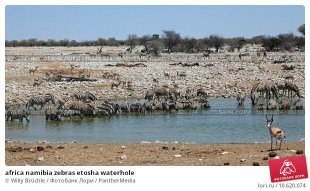 africa namibia zebras etosha waterhole. Стоковое фото, фотограф Willy Brüchle / PantherMedia / Фотобанк Лори